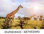 a group of giraffes in the... | Shutterstock . vector #687453490