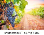 Bunche Of Grape In The Rows Of...
