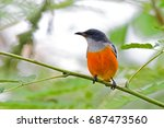 orange bellied flowerpecker no. ... | Shutterstock . vector #687473560