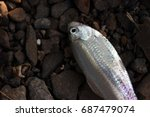 Small photo of American Shad Fish on stones