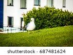 Seagull Walking On Green Grass...