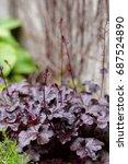 Perennial Plant Heuchera...