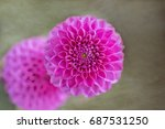 pink dahlia flowers macro on... | Shutterstock . vector #687531250