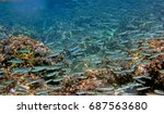Small photo of Group of Bogue fishes