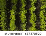 garden carrot bed top view.... | Shutterstock . vector #687570520