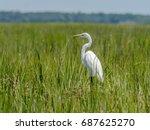White Heron In Salt Marsh