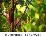 Cacao Tree Closeup With Ready...