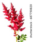 Small photo of Beautiful astilbe flower on white background