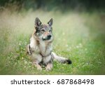 wolfdog laying on a grass with... | Shutterstock . vector #687868498