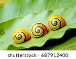 Cuban Snail  Polymita Picta  ...