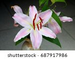lily in full blossom  isolated  ... | Shutterstock . vector #687917986