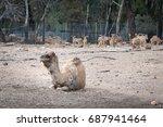 camels in australia.   Shutterstock . vector #687941464