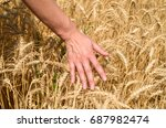 Small photo of Girl's hand touching ripe wheat in field on summer day outdoors, closeup. Agriculture, agronomy and farming background, free space. Harvest concept