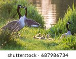 Canada Goose Geese Family ...