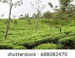 fresh green tea plantation at... | Shutterstock . vector #688082470