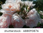 background of delicate roses of ... | Shutterstock . vector #688093876