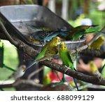 budgeeions  melopsittacus... | Shutterstock . vector #688099129