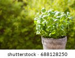 Fresh Basil Herb In Flowerpot...