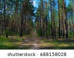 Long Road In A Pine Forest. Th...