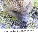 a wild hedgehog on the ground.... | Shutterstock . vector #688179598
