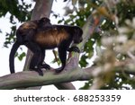 loving scene with a baby howler ... | Shutterstock . vector #688253359