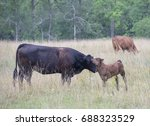 cow and calf nuzzle face to... | Shutterstock . vector #688323529