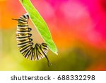 monarch caterpillar feeding on... | Shutterstock . vector #688332298
