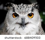Stock photo staring hunting owl 688409503