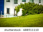 Seagull Walking On Green Grass...