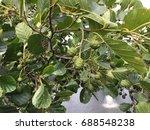 Small photo of Bumps of alder.