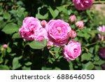 bright pink rose flowers | Shutterstock . vector #688646050