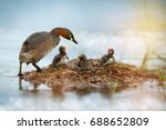 Stock photo little grebe tachybaptus ruficollis duck parents coming and calm down their three hungry fussy 688652809