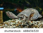 Stock photo carettochelys insculpta the merry turtle swims under the water funny animals 688656520