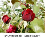 Stock photo red rose bud love and nature 688698394