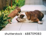 Stock photo english bulldog playing with an awesome french bulldog 688709083