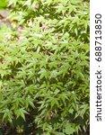 Small photo of Acer palmatum Murasaki kiyohine