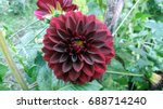 Red Dahlia Flower In The Morning