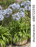 Small photo of Agapanthus praecox subspec. orientalis