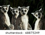 Group Of Ring Tailed Lemurs ...