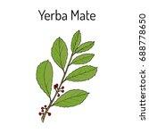 yerba mate  ilex paraguariensis ... | Shutterstock .eps vector #688778650