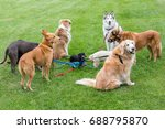 Stock photo miniature dachshund in the middle of a group of several large dogs looking in different directions 688795870