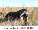 the giant anteater ... | Shutterstock . vector #688798108