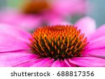Close Up Of Pink Cone Flower...