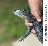 Baby Alligator A Man Holds A...