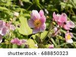 anemone x hybrida 'september...   Shutterstock . vector #688850323