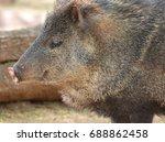 the collared peccary  pecari... | Shutterstock . vector #688862458