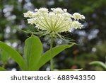 Queen Anne's Lace Flower  View...