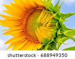 half blown sunflower close up... | Shutterstock . vector #688949350