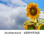 blooming sunflowers and... | Shutterstock . vector #688949368