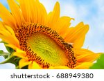 blooming sunflower and... | Shutterstock . vector #688949380